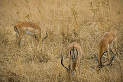 Male Impalas - Mikumi National Park, Tanzania