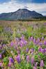 GTR5576B (Pete Carroll) Tags: canada nikon d2x alberta wildflowers watertonlakesnationalpark petercarroll globetrotterphotography