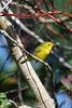 Madame W. (WanderWorks) Tags: canada tree bird nature yellow newfoundland labrador branch outdoor wildlife wilsons warbler wilsonswarbler dsc1625c1g