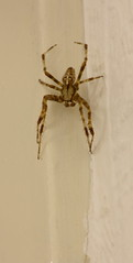 The only cross in my house (Paul Honig) Tags: house garden spider european araneus wijkaanzee kruisspin diadematus
