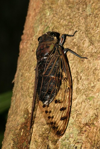 Megapomponia sp. (Cicadidae)