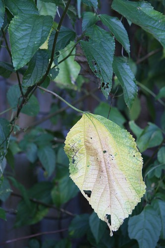 The leaf which faded