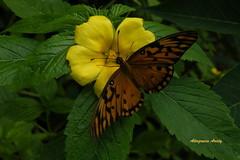 Mariposa/Turnera Silvestre Butterfly/Wild Turnera (Altagracia Aristy) Tags: butterfly amrica dominicanrepublic papillon borboleta tropic caribbean mariposa farfalla antilles laromana caribe caraibi gulffritillary repblicadominicana agraulisvanillae trpico antillas turnera quisqueya fujifilmfinepixs8100fd fujis8100fd fujifinepixs8100fd altagraciaaristy volatineradelgolfo turnerasilvestre wildturnera carabi