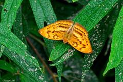 雄紅三線蝶