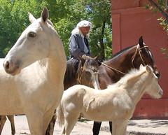 El potrillo ruano (Eduardo Amorim) Tags: horses horse southamerica argentina criollo caballo cheval caballos cavalos pferde herd cavalli cavallo cavalo gauchos pferd colt pampa hest hevonen chevaux gaucho  amricadosul foal hst gacho  campero amriquedusud provinciadebuenosaires  gachos  potrillo sudamrica sanantoniodeareco suramrica amricadelsur  areco sdamerika gregge crioulo troupeau caballoscriollos herde criollos  tropillas potrinho pampaargentina camperos americadelsud tropilhas tropilla  crioulos cavalocrioulo americameridionale tropilha caballocriollo campeiros campeiro eduardoamorim cavaloscrioulos potrilho iayayam yamaiay pampaargentino