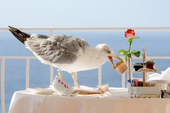 breakfast thief (5ERG10) Tags: blue light sea summer vacation italy brown white holiday bird lines animal animals rose breakfast lens grey capri hotel seaside nikon iron italia mare campania looking estate view zoom terra