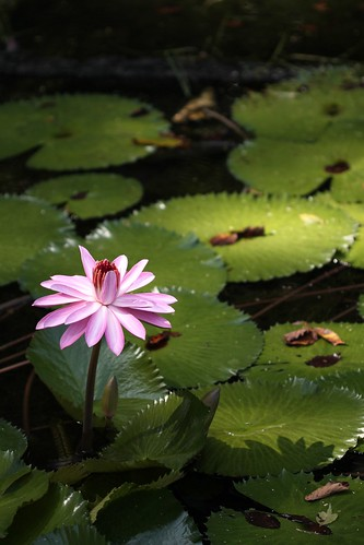 lily pad and bloom