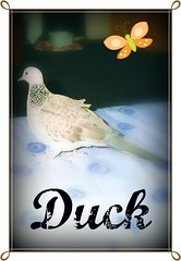 Duck the Dove. (cherryblossom1) Tags: pet cute bird love duck flickr dove memories adorable estrellas mylife familymember thisphotorocks absolutelyperrrfect
