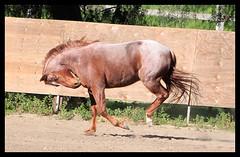 Rolkur? (xxmemorabilia) Tags: red horse turn out fun strawberry play head roan gallop tuck starawberryroan