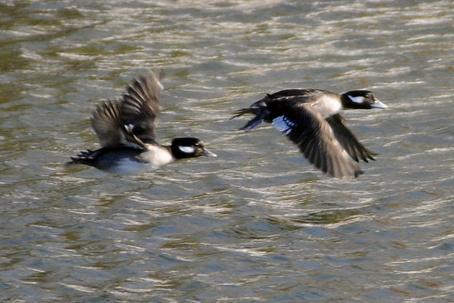 female buffleheads flying 2