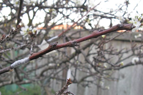 Apricot 'Large Early Montgamet' Graft