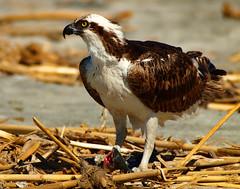 Osprey (Bryce Bradford) Tags: fish river harbor san eating jetty sigma olympus apo oceanside raptor rey mf luis prey f56 osprey ep2 seahawk 400mm