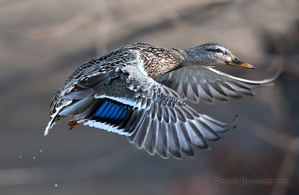 Mallard Hen in Flight - Droplets