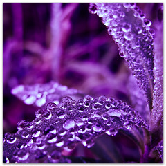 Purple Rain (red_lion) Tags: morning macro folhas portugal rain canon square leaf purple lisbon sintra chuva drop dew pearl gota wakeup canoneos brilliant roxo purplerain quadrado orvalho acordar perola brilhante flickraward pdaserra 100commentgroup flickraward5