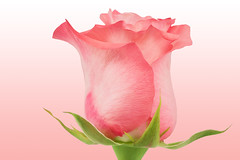 Pink Rose (Sandyp.com) Tags: rose flower pinkrose closeup sonyalpha sonya7rii topazsoftware gradientbackground