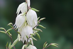 Yucca (Wild Bill in MN) Tags: sony 135stf stf a77m2 flower yucca asparagaceae white