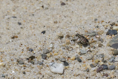 A Tiger Beetle on the Edge (brucetopher) Tags: tiger beetle tigerbeetle bug insect six legs beach creature crawl hunter sand hairy cicindela beachtigerbeetle critter tiny beauty beautiful pattern elytra maculations shell camouflage fast elusive animal outdoor