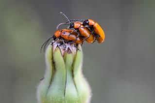 Tres sobre Urospermum dalechampii