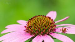 迷路的蚂蚁 (幻影留梦) Tags: echinacea coneflower asteraceae daisy flower pink purple stem green summer perennial sony fe 90mm f28 macro g oss lens sel90m28g