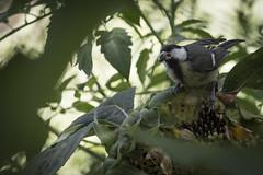 Carbonero (seguicollar) Tags: pájaro carbonero bird girasol pipa comiendo alimentándose leaf leaves hojas verde green nikond7200 virginiaseguí