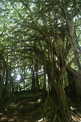 DSC03743 (washuugenius) Tags: photo hawaii hilo tropical flora wailukuriverstatepark tree banyantree