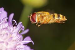 Syrphidae fly (jean-danielechenard1) Tags: syrphe syrphidae insecte animal fly vol arthropoda neoptera endopterygota hexapoda brachycera diptera diptère syrphoidea schwebfliegen stehfliegen sirfidi
