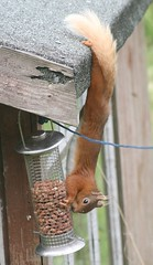 Stretchy Red Squirrel