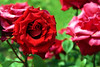Pride of England 2 (DannyWhitham) Tags: park red roses flower london rose regent regents prideofengland