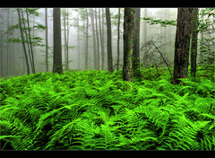 Foggy Forest Ferns (pinecreekartist) Tags: chiaramonte wellsboropa lovelymotherearth pinecreekartist tiogacountypachiaramonte