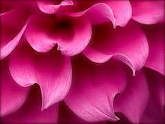 waves of pink (Celeste M (more off than on)) Tags: pink dahlia flora searchthebest magenta doublefantasy macromarvels petaledge