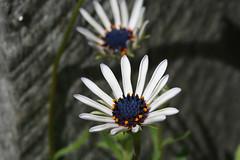 African Daisy (crafty1tutu (Ann)) Tags: flower macro africandaisy