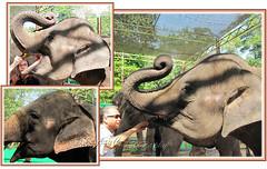 Feeding sugar-cane to the Asian Elephants (Elephas maximus)