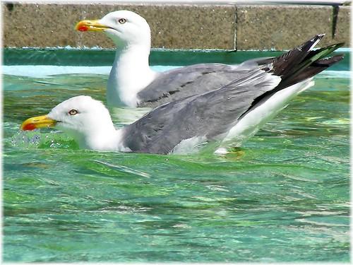 gaviotas nadando