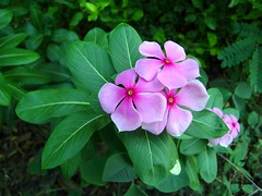 Catharanthus roseus - sadhaphuli (mani19) Tags: pink trees winter summer sky india white lake flower cute beauty yellow festival night asia cancer evergreen mumbai pune vinca nari kanchan dombivli uruli sadaphuli shavam