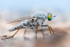 Stiletto fly on the beach (johnhallmen) Tags: macro insect fly p portfolio vu a2 diptera raynoxdcr150 nikonsb400 fujifilms5pro nikonmicronikkor105mmf4