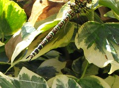 Dragonfly in my garden. (fiona parkes) Tags: dragonfly