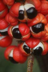 Guaraná (Anselmo Garrido) Tags: stock fruta tropical guaraná flickrstock