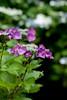 "Flower, Hydrangea ""Mowe"" (nekonomania) Tags: hydrangea アジサイ reddishpurple kyotobotanicalgarden 京都府立植物園"