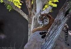 (PhotographyBySaija) Tags: arizona animals tiger sumatrantiger phoenixzoo bigcats d5000 flickrbigcats