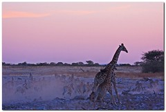 A Dusty Disturbance (NZSam) Tags: sunset dusk startled creative zebra giraffe moment waterhole namibia etosha africanwildlife okaukuejo mywinners concordians coloursofafrica