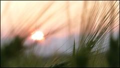 Le vent dans tes cheveux blonds. The wind in your blond hair. (Amiela40) Tags: vent dance cornfield wind lumière softness danse douceur flickraward champsdeblé platinumheartaward gerbedeblé
