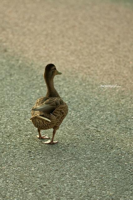 quack! day 187 (last)