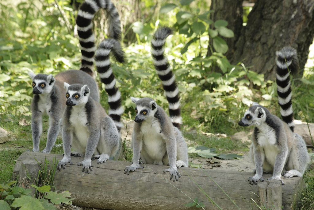 Lemurs waiting for food by corneliuscz, on Flickr