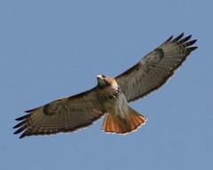 Hawk, Red Tailed IMG_6503 (mbowen1) Tags: hawk flight andromeda50