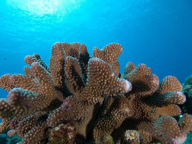 南大東島のサンゴ