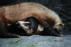 Japanese Badger in the Nogeyama Zoo (sleepyhead's) Tags: japan japanese zoo badger nippon yokohama nihon meles nogeyama 日本国 anakuma nihonkoku nipponkoku 横浜市 nogeyamazoo 日本國 japanesebadger melesmelesanakuma melesanakuma