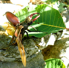 Stag Beetle on the Wing (Drag'n'Drop) Tags: italy nature insect wings sony beetle creative moment pincers trieste carso stagbeetle