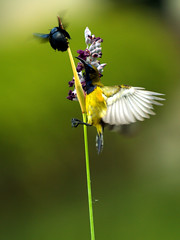 Olive-backed Sunbird #1 - Fight for Food (Andhi Priatmoko) Tags: bird singapore olympus birdwatcher e500 olivebackedsunbird cinnyrisjugularis esystem bej zuikoed50200mmf2835swd