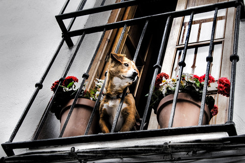 Dog and balcony. Albaicín, Granada. Perro y balcón.