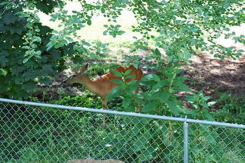 71010 Deer 04